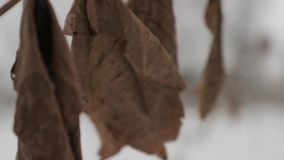 Dry large brown leaves on a tree branch in winter.  stock video footage