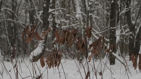 Dry large brown leaves on a tree branch in winter.  stock video