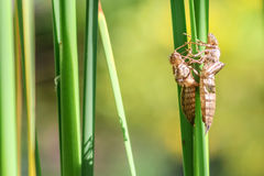 Dry larva skins of dragonflies Royalty Free Stock Photo
