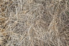 Dry, last year`s grass. Old straw background texture.Through the old rotten grass breaks young grass. stock photos