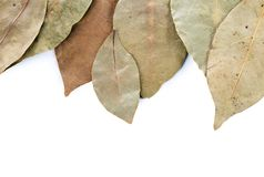 Dry laurel leaf isolated on white Stock Image