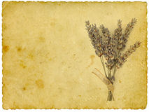 Dry lavender Royalty Free Stock Photography