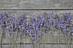 Dry lavender flowers Stock Image