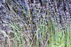 Dry Lavenders Stock Image