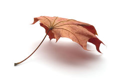 Dry leaf Royalty Free Stock Photography