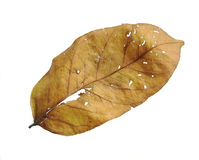 Dry leaf royalty free stock photos