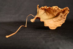 Dry leaf. On long stalk cramped. studio shot Stock Image