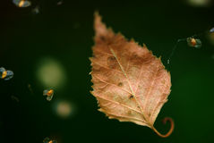 Dry leaf Royalty Free Stock Image