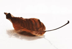 Dry leaf. On the wet, white background Stock Images