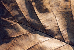 Dry leaf royalty free stock photo