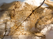 Dry leaf. Macro image of an old dried transparent leaf in the sunshine royalty free stock images