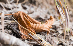 Dry leaf in autumn grass. Dry rolled tea leaves among the autumn grass Stock Images