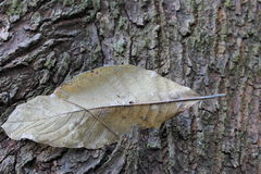 Dry leaf on Bark Royalty Free Stock Photography