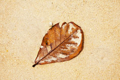 Dry leaf at the beach Royalty Free Stock Photos