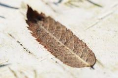 Dry leaf on birch tree bark, macro Stock Photo