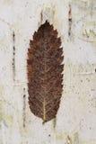 Dry leaf on birch tree bark Royalty Free Stock Photography