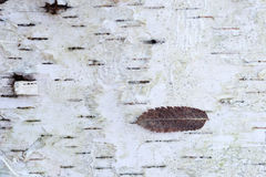 Dry leaf on birch tree bark Royalty Free Stock Photos