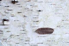 Dry leaf on birch tree bark Royalty Free Stock Photos