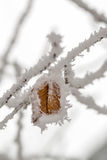 Dry leaf on a branch in winter in frost, Stock Image