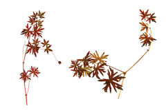Dry leaf, bright red leaves of grass in the form of a star isola. Ted leaves on white background for scrapbook, leaves and seeds object, autumn leaf Stock Photography