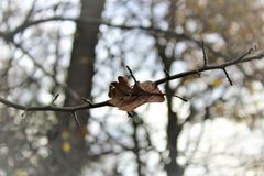 Dry leaf caught on twig royalty free stock photography