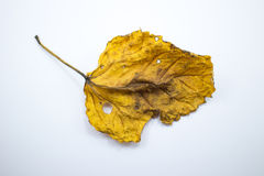 Dry Leaf of Chinese hibiscus flower isolated Stock Photography