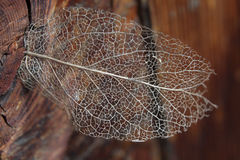 Dry leaf detail texture - skeleton Royalty Free Stock Photography