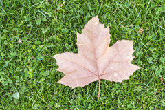 Dry leaf. Drop on the green grass Stock Image