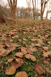 The dry leaf are fall on the floor. Between tree Royalty Free Stock Images