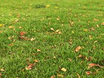 Free Dry Leaf Fall In The Lawn. Green Grass On Playground. Stock Images - 119868524