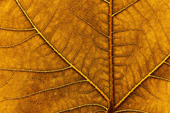 Dry leaf of a fig tree. A detailed shot of a dry fig leaf. no photoshop, no sharpening. the light is from the sun behind. taken on a glass with sun behind Royalty Free Stock Image