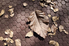 Dry leaf on the floor Royalty Free Stock Photo