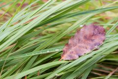 Dry leaf is on the fresh wet green grass in forest. One Single big dry leaf is on the fresh wet green grass in forest Royalty Free Stock Images