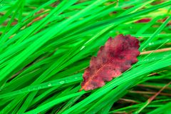 Dry leaf is on the fresh wet green grass in forest. One Single big dry leaf is on the fresh wet green grass in forest Royalty Free Stock Photos