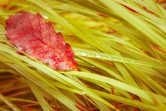 Dry leaf is on the fresh wet green grass in forest. One Single big dry leaf is on the fresh wet green grass in forest Royalty Free Stock Photo