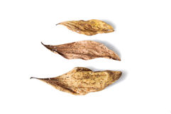 Dry leaf full of holes on white background. Dry leaf full of holes isolated on white background Royalty Free Stock Image
