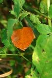 Dry leaf. Golden autumn leaf among green Stock Images