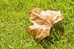 Dry leaf on a grass lawn - autumn concept - image with copy spac. E Royalty Free Stock Image