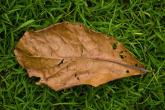 Dry leaf on green grass Royalty Free Stock Image