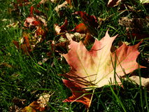 Dry leaf in green grass. Dry autumn leaf in green sunlit grass Royalty Free Stock Photos