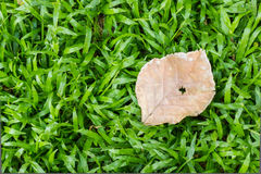 Dry leaf on green grass. Stock Photo