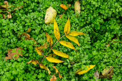 Dry leaf on a green grass background Royalty Free Stock Photography