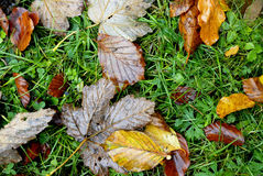Dry leaf on green grass. On fall time Stock Image