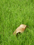 Dry leaf on green grass field on sunshine day. A dry leaf on green grass field on sunshine day stock photo