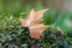 Dry leaf on green leaves. Typical autumn image royalty free stock photography