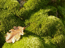 Dry leaf on green moss. In the undergrowth Stock Photos