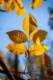 Dry leaf hangs on a tree.  Royalty Free Stock Images