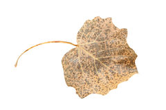 Dry leaf. Isolated on a white Royalty Free Stock Photos