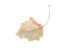 Dry leaf. Isolated on a white Stock Photos