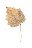 Dry leaf. Isolated on a white Royalty Free Stock Image